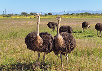 Ostrich in the Karoo